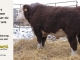 H-2-bull-for-sale-hereford-simmental-fleckvieh-hybrid-1502_8145