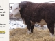 H-2-bull-for-sale-hereford-simmental-fleckvieh-hybrid-1502_8146