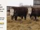 H-2-bull-for-sale-hereford-simmental-fleckvieh-hybrid-1514_1553_8140