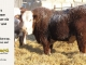 H-2-bull-for-sale-hereford-simmental-fleckvieh-hybrid-1530_8109