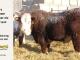 H-2-bull-for-sale-hereford-simmental-fleckvieh-hybrid-1530_8110