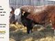 H-2-bull-for-sale-hereford-simmental-fleckvieh-hybrid-1530_8121