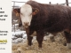 H-2-bull-for-sale-hereford-simmental-fleckvieh-hybrid-1549_8150