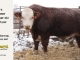 H-2-bull-for-sale-hereford-simmental-fleckvieh-hybrid-1549_8151