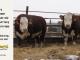 H-2-bull-for-sale-hereford-simmental-fleckvieh-hybrid-1559_1607_8133