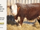 H-2-bull-for-sale-hereford-simmental-fleckvieh-hybrid-1559_8107
