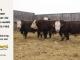 H-2-bull-for-sale-hereford-simmental-fleckvieh-hybrid-1562_1515_15--_8136