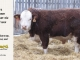 H-2-bull-for-sale-hereford-simmental-fleckvieh-hybrid-1564_8125