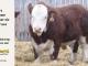 H-2-bull-for-sale-hereford-simmental-fleckvieh-hybrid-1564_8137