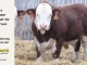 H-2-bull-for-sale-hereford-simmental-fleckvieh-hybrid-1564_8138