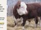 H-2-bull-for-sale-hereford-simmental-fleckvieh-hybrid-1564_8139