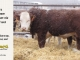 H-2-bull-for-sale-hereford-simmental-fleckvieh-hybrid-1569_8147