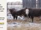 H-2-bull-for-sale-hereford-simmental-fleckvieh-hybrid-1580_1600_8142