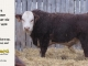 H-2-bull-for-sale-hereford-simmental-fleckvieh-hybrid-1580_8127