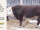 H-2-bull-for-sale-hereford-simmental-fleckvieh-hybrid-1580_8143