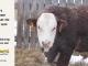H-2-bull-for-sale-hereford-simmental-fleckvieh-hybrid-1580_8144