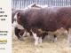 H-2-bull-for-sale-hereford-simmental-fleckvieh-hybrid-1583_8153
