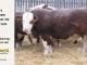 H-2-bull-for-sale-hereford-simmental-fleckvieh-hybrid-1583_8154