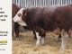 H-2-bull-for-sale-hereford-simmental-fleckvieh-hybrid-1583_8155
