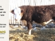 H-2-bull-for-sale-hereford-simmental-fleckvieh-hybrid-1585_8768
