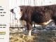 H-2-bull-for-sale-hereford-simmental-fleckvieh-hybrid-1585_8770