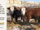 H-2-bull-for-sale-hereford-simmental-fleckvieh-hybrid-1587_1483_8115