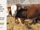 H-2-bull-for-sale-hereford-simmental-fleckvieh-hybrid-1587_8119