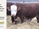 H-2-bull-for-sale-hereford-simmental-fleckvieh-hybrid-1587_8131