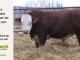 H-2-bull-for-sale-hereford-simmental-fleckvieh-hybrid-1587_8135