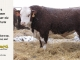 H-2-bull-for-sale-hereford-simmental-fleckvieh-hybrid-1594_8148