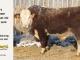 H-2-bull-for-sale-hereford-simmental-fleckvieh-hybrid-1600_8116