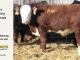 H-2-yearling-bull-for-sale-hereford-simmental-fleckvieh-hybrid-1108_8839