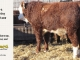 H-2-yearling-bull-for-sale-hereford-simmental-fleckvieh-hybrid-1108_8840