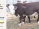 H-2-yearling-bull-for-sale-hereford-simmental-fleckvieh-hybrid-1109_8815