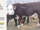 H-2-yearling-bull-for-sale-hereford-simmental-fleckvieh-hybrid-1109_8816