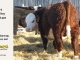 H-2-yearling-bull-for-sale-hereford-simmental-fleckvieh-hybrid-1109_8830