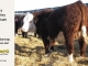 H-2-yearling-bull-for-sale-hereford-simmental-fleckvieh-hybrid-1109_8835