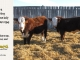 H-2-yearling-bull-for-sale-hereford-simmental-fleckvieh-hybrid-1149_1108_8831