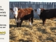 H-2-yearling-bull-for-sale-hereford-simmental-fleckvieh-hybrid-1149_1108_8832
