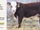 H-2-yearling-bull-for-sale-hereford-simmental-fleckvieh-hybrid-1149_8817