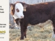 H-2-yearling-bull-for-sale-hereford-simmental-fleckvieh-hybrid-1149_8818