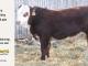 H-2-yearling-bull-for-sale-hereford-simmental-fleckvieh-hybrid-1149_8819