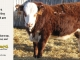 H-2-yearling-bull-for-sale-hereford-simmental-fleckvieh-hybrid-1149_8827