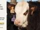 H-2-yearling-bull-for-sale-hereford-simmental-fleckvieh-hybrid-1205_8846