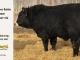 black-super-baldie-bull-for-sale-angus-simmental-fleckvieh-hybrid-5---_8570