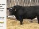 black-super-baldie-bull-for-sale-angus-simmental-fleckvieh-hybrid-5285_8561