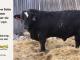 black-super-baldie-bull-for-sale-angus-simmental-fleckvieh-hybrid-5299_8424