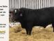 black-super-baldie-bull-for-sale-angus-simmental-fleckvieh-hybrid-5299_8583