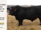 black-super-baldie-bull-for-sale-angus-simmental-fleckvieh-hybrid-5466_8612