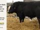black-super-baldie-bull-for-sale-angus-simmental-fleckvieh-hybrid-5482_8590